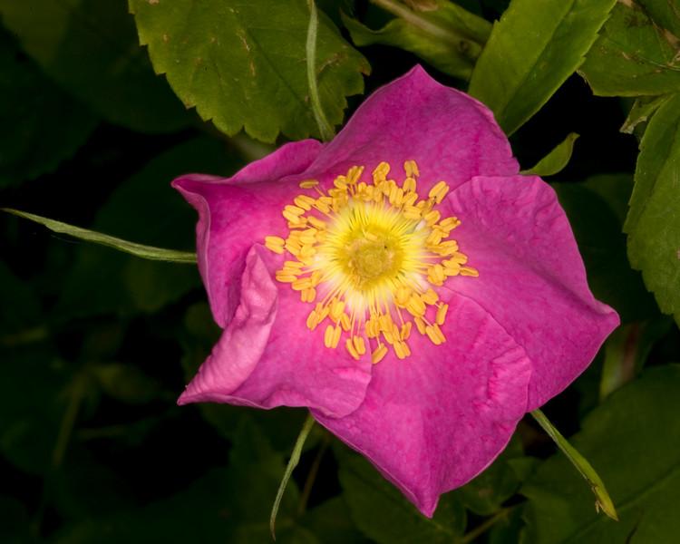Wild  Rose in Red Rock Lakes National Wildlife Refuge. July 2009