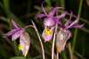 Fairy Slipper Orchids (Calypso Bulbosa)