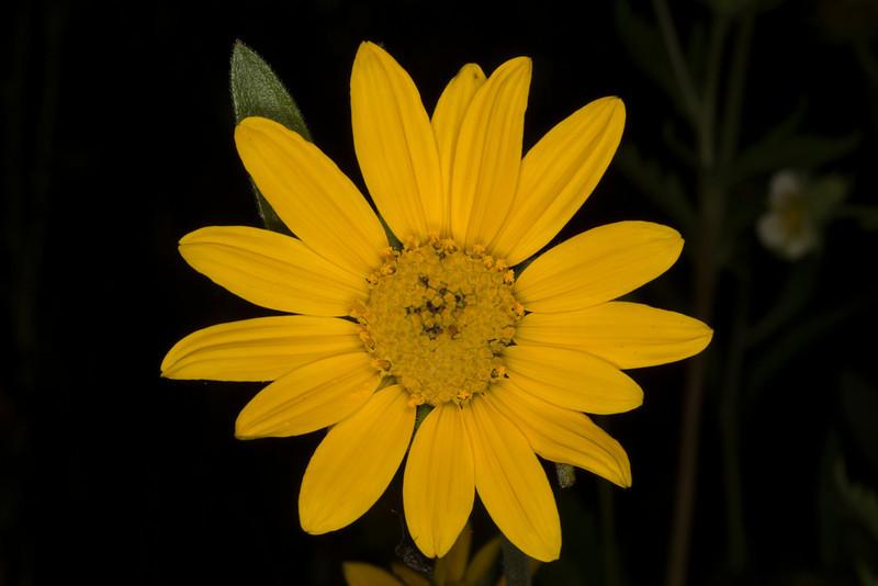 LittleSunflower_133539