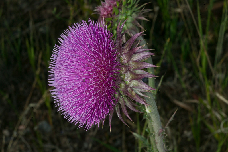 Musk Thistle, Johnny Ridge Road, MT