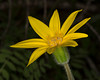 Heart Leaf Arnica in Targhee Forest near Henrys Lake Idaho June 18, 2013