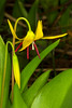 Glacier Lily and bud