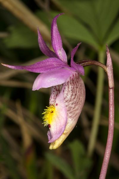 Fairy Slipper Orchid (Calypso bulbosa)