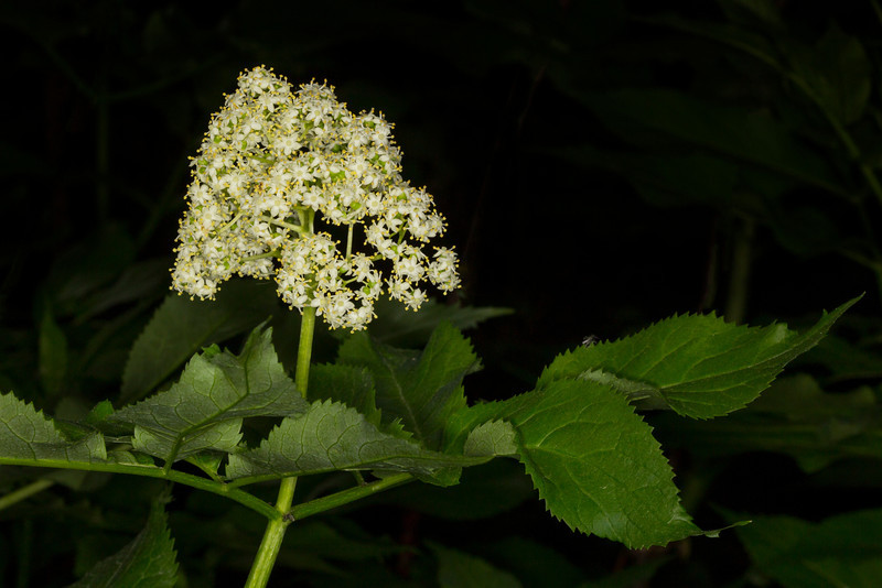 BlackElderberry_132580