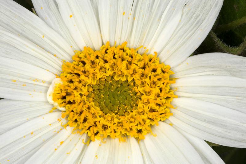 White Mule's Ear closeup wildflower