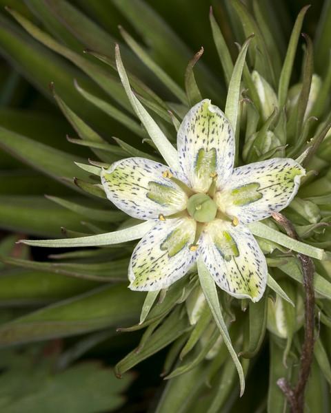 Green Gentian bloom. Montana