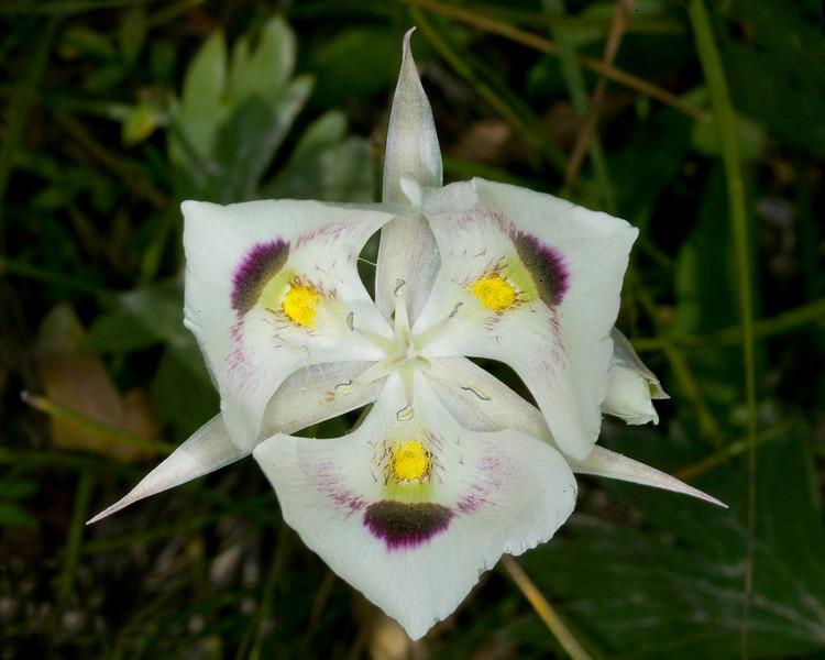 White Mariposa Lily