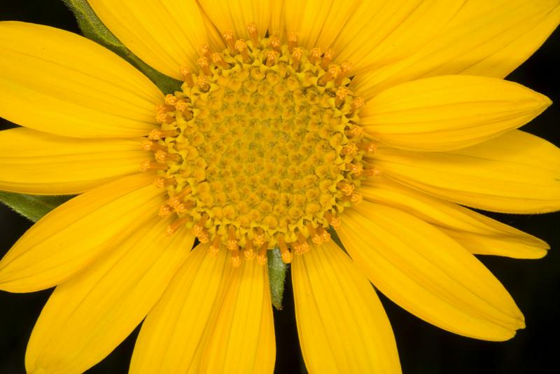 Narrow leaf Arnica
