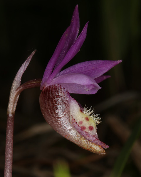 Fairyslipper Orchid (Calypso bulbosa) in Targhee Forest. May 2013