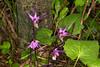 Fairyslippers in Targhee Forest