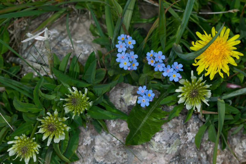 A pretty combination of clover, forget-me-nots and a lone dandelion along the Gravelly Range road in Montana. July 3, 2012.