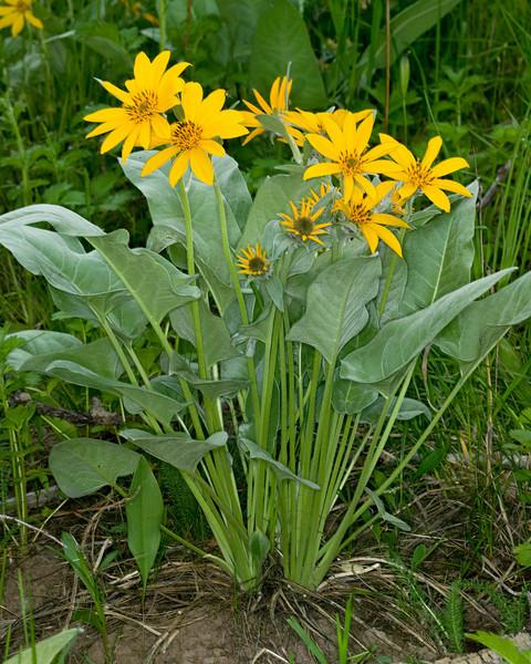 Arrowleaf Balsamroot in Sawtelle Meadows in Island Park, Idaho. June 22, 2008