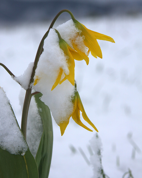 Glacier Lily peaks out from a late May snow along Red Rock Road, Island Park, ID. May 2008
