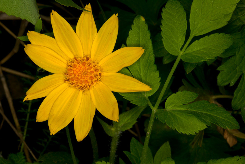 Heart-leaved Arnica (Arnica cordifolia) wildflower in the Targhee forest across from RedRock RV Park in Idaho. These are early bloomers on June 4, 2012.  Those are not the leaves of the Arnica.