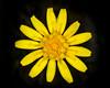 False Dandelion bloom. July 2009 Idaho.