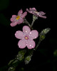 ForgetMeNotsPink_106971