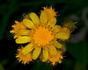 This beautiful small flower may be a variety of Groundsel. Island Park, Idaho. Summer 2010.;