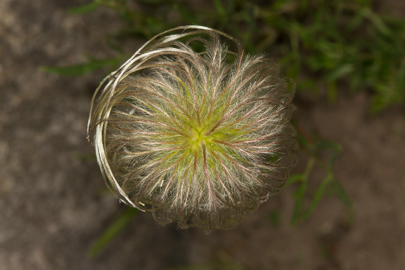 Vase Flower seed head