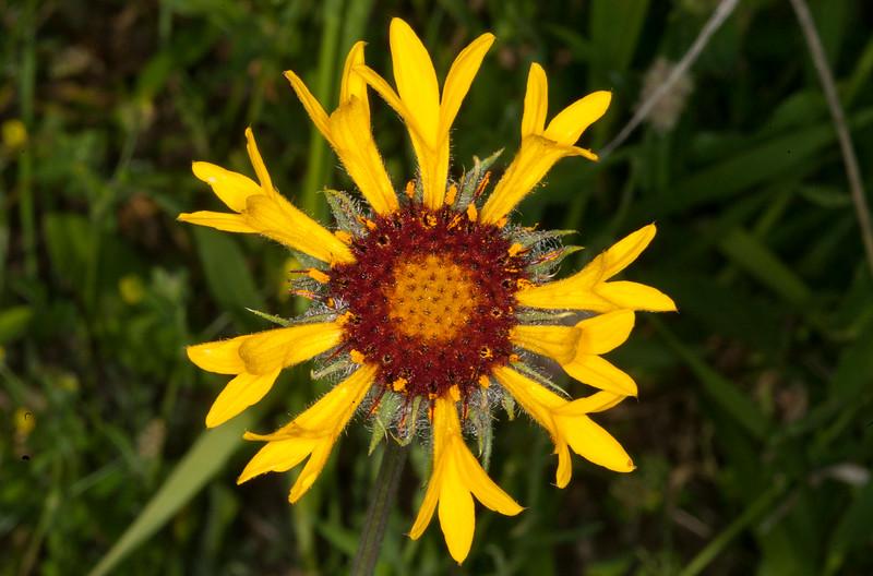 Indian Blanket Flower, Gravelly Range Road, MT