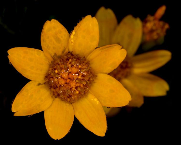 WoollySunflower_134909