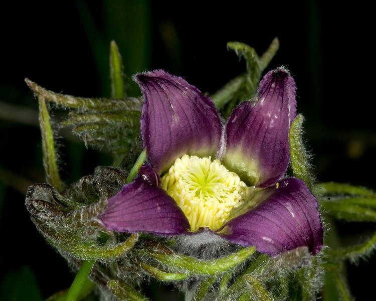 Under the hood of the Vase Flower! Island Park, Idaho June 5, 2008