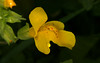 Common Yellow Monkeyflower (Mimulus guttatus)