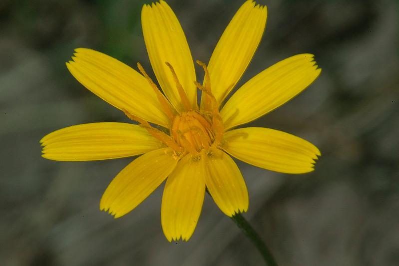 YellowAsterUnknownGravelly_160156