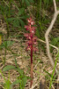 StripedCoralroot_164156