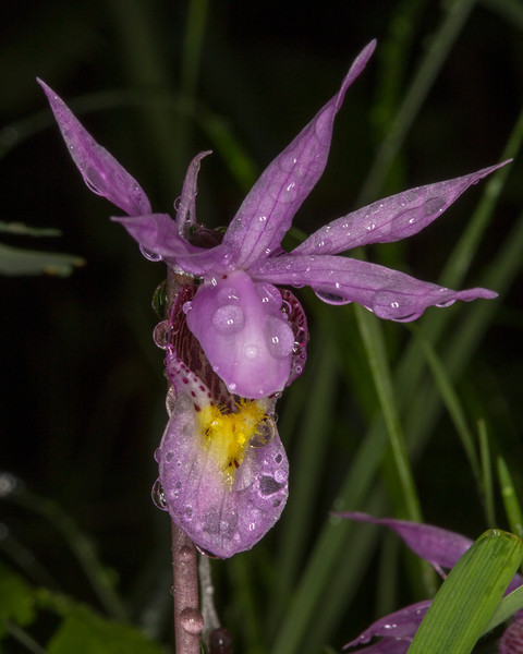 Fairyslipper Orchid in Targhee forest wet from a rain. June 2013