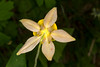 YellowColumbine_164430