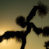 Dancing Joshua Tree