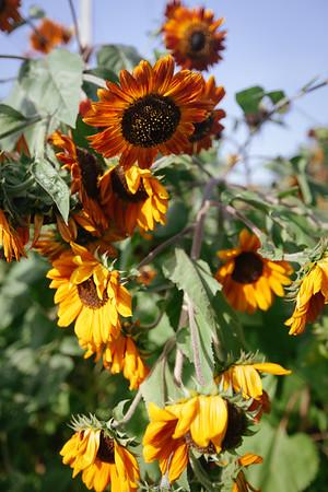 Sunflowers Khao Chakan