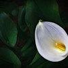 Calla Lily Morning