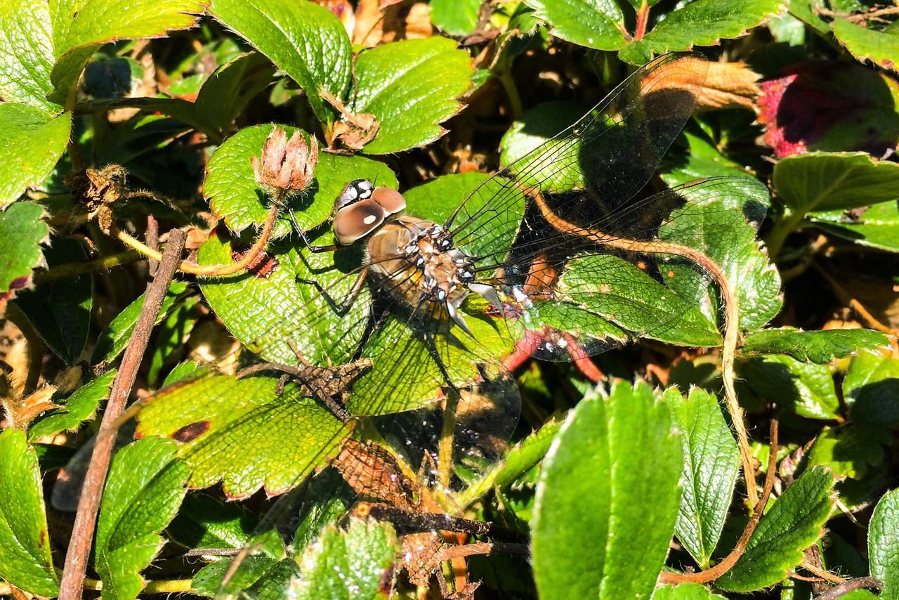 dragonfly&flowers-11.jpg