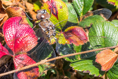 dragonfly&flowers-12.jpg