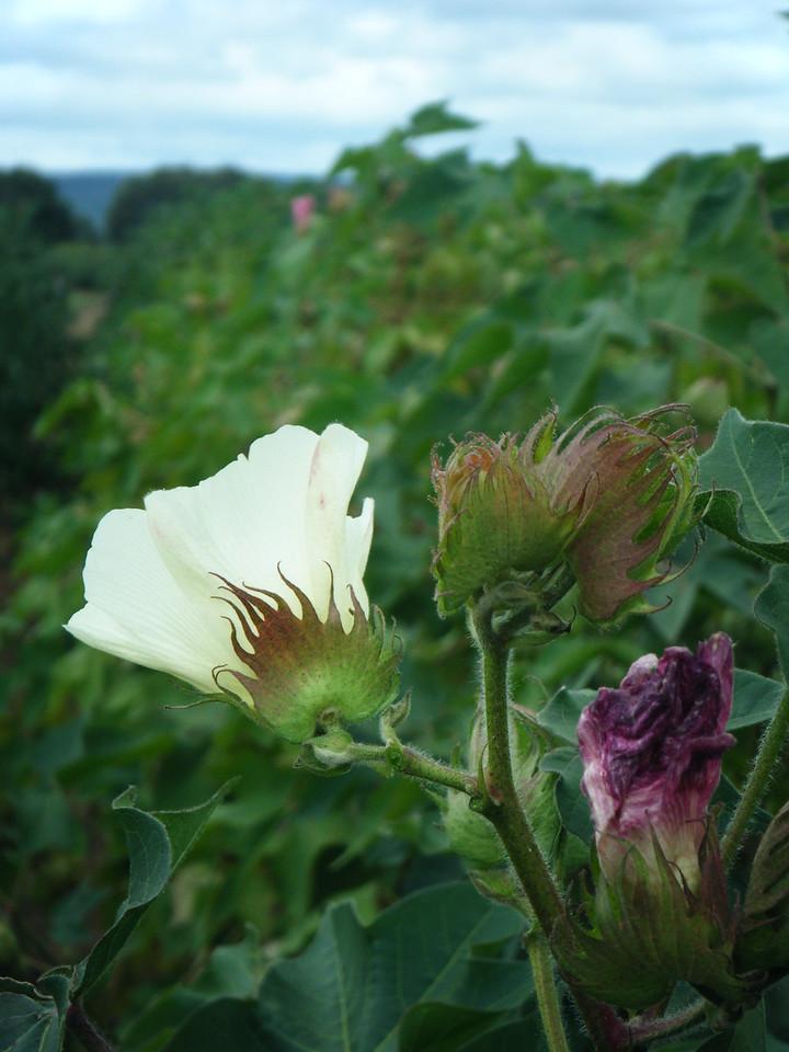 Cotton flower 8
