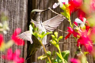 Backyard_Birds-Mar2012-41.jpg