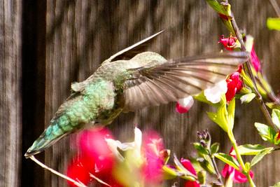 Backyard_Birds-Mar2012-43.jpg