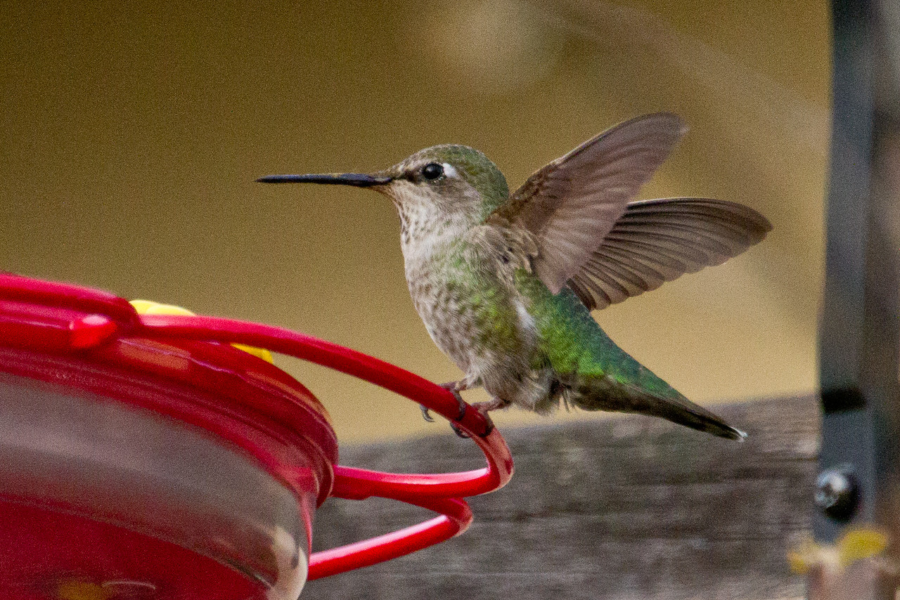 Backyard_Birds-Mar2012-30.jpg