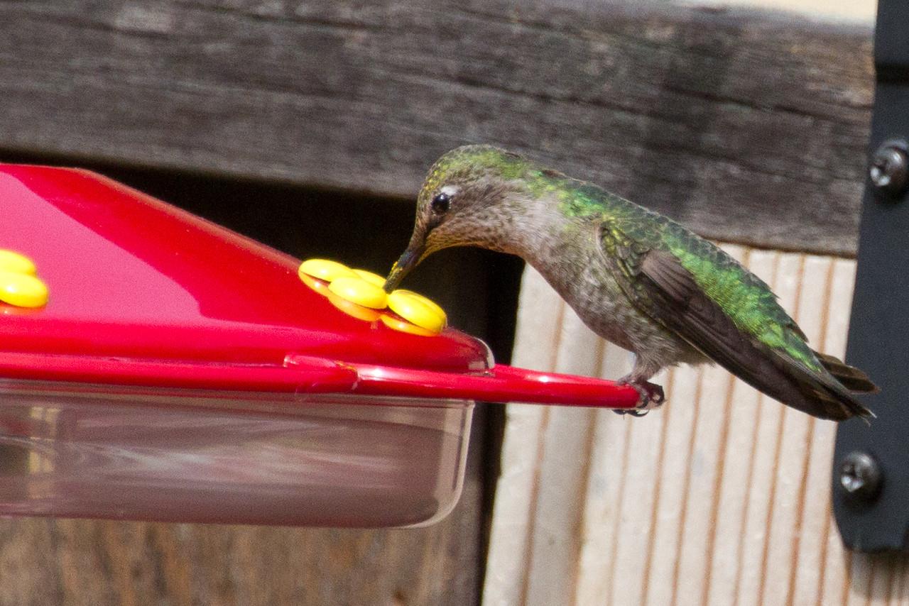 Backyard_Birds-Mar2012-38.jpg