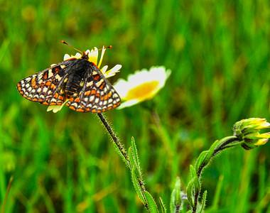 Bay Checkerspot butterfly