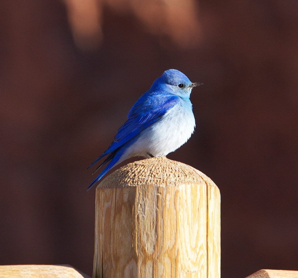 4/9/11 -  Mountain bluebird