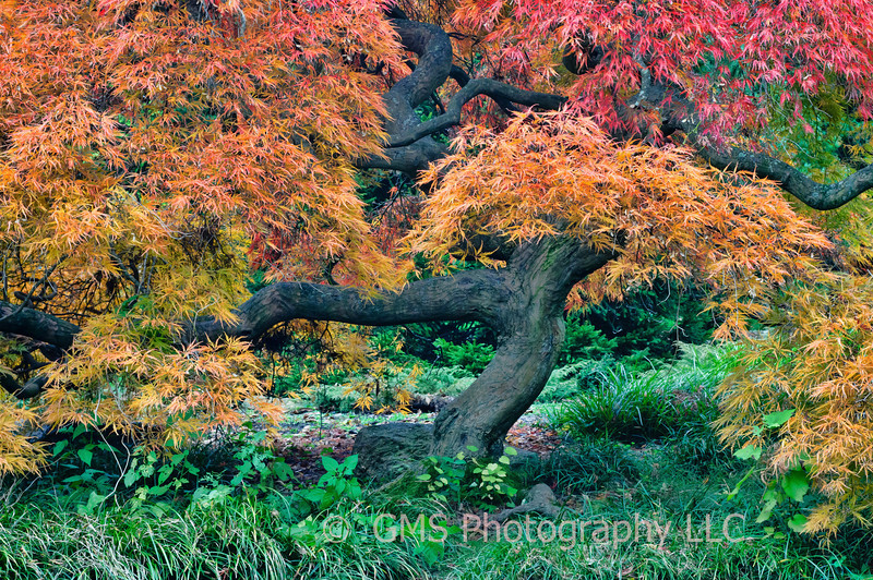 Autumn tree in Aboretum at Holmdel Park, Holmdel, New Jersey