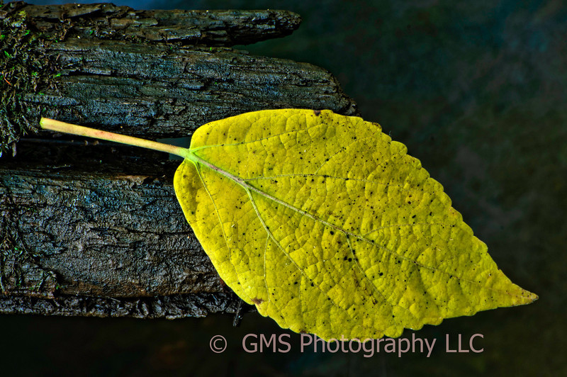Autum leaf hangs on to log in stream at Bicentennial Park, Middletown, New Jersey