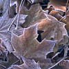 Frost collects on collection of leaves at Holmdel Park, Holmdel, New Jersey