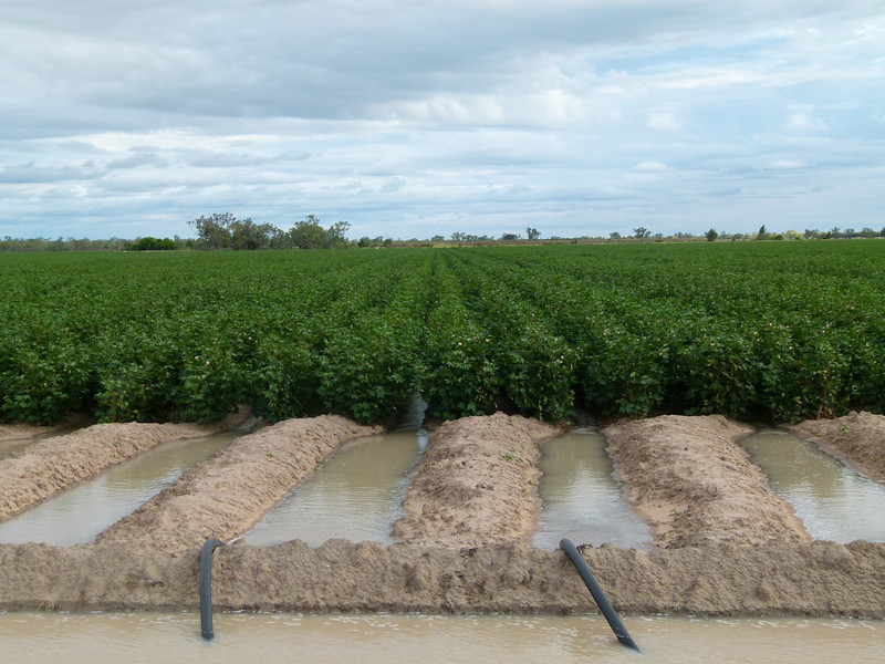Cotton crop being irrigated
