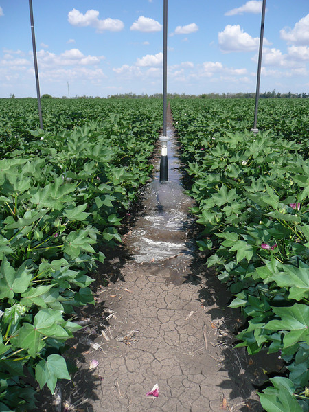 Cotton being watered with overhead irrigation to save water
