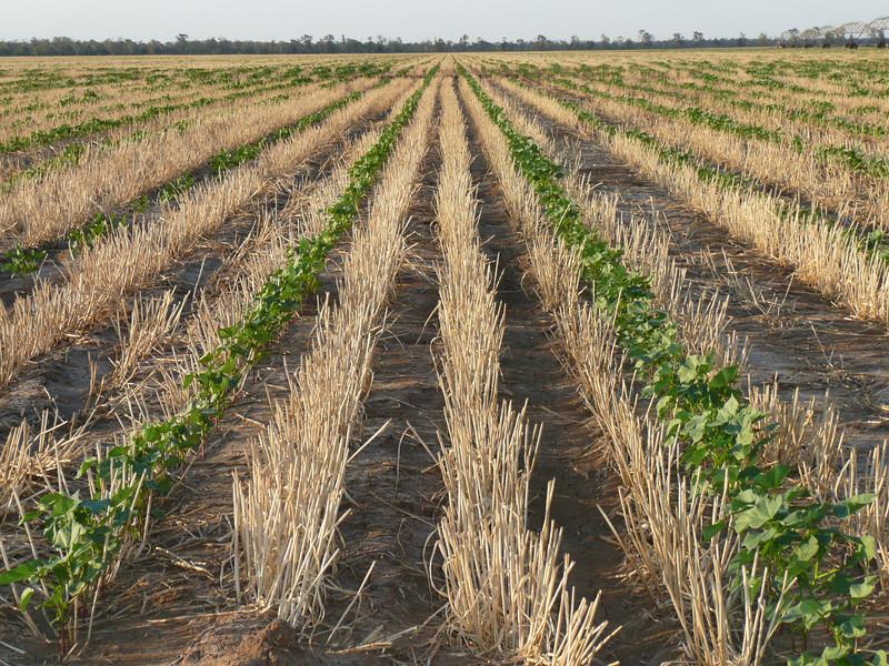 Cotton plants (green) planted into wheat stubble