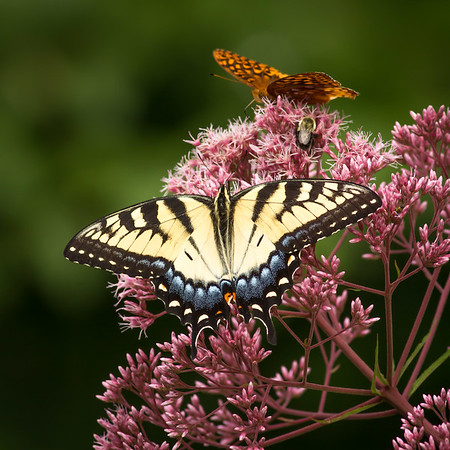 RME_Tiger_Swallowtail_Female_002_20140808