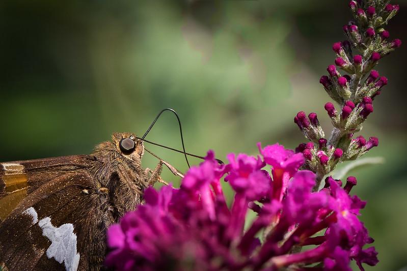 RME_Butterflies_Spider_721_20150815_CS5 12 x 8